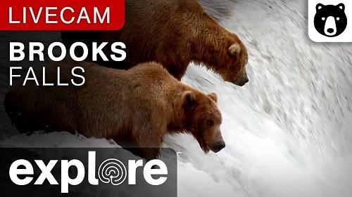 Osos pardos en vivo desde el Parque Nacional Katmai en Alaska