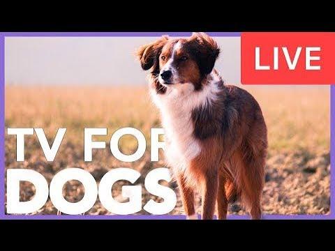 Televisión para Perros EN VIVO - Música relajante